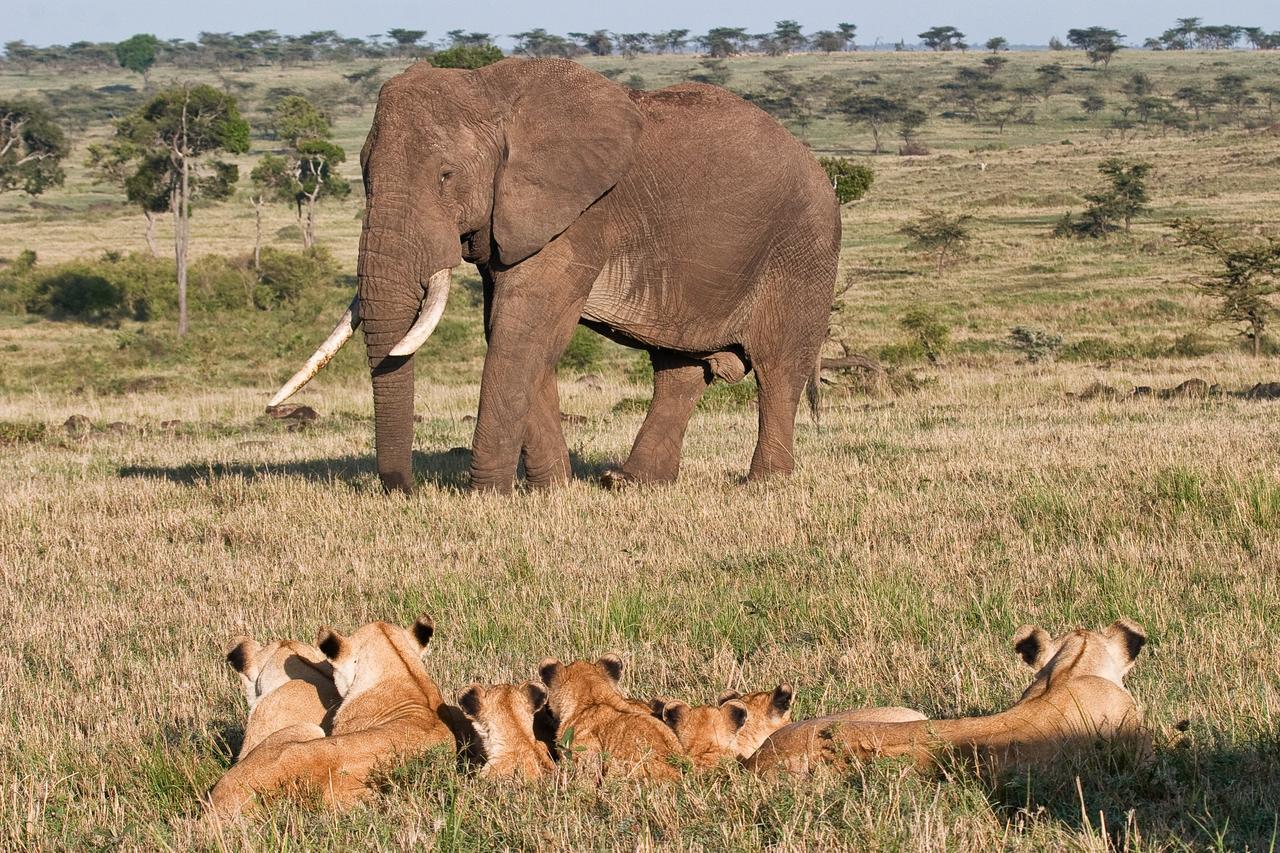 Elephant Vs Lion Lion Vs Elephant
