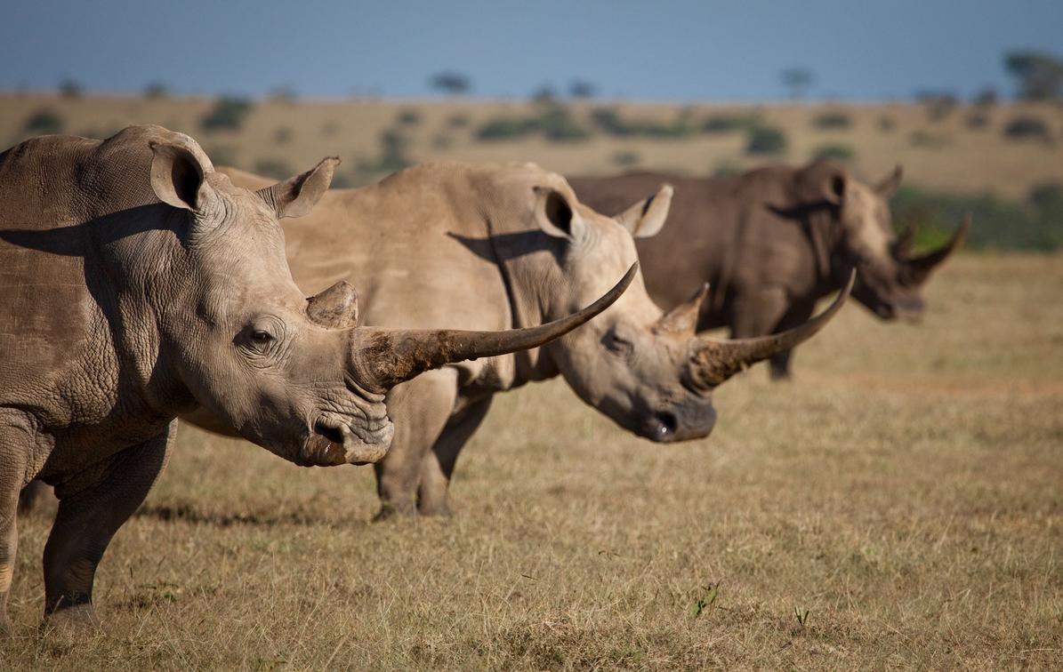 фото стадо носорогов яркой зрелищной