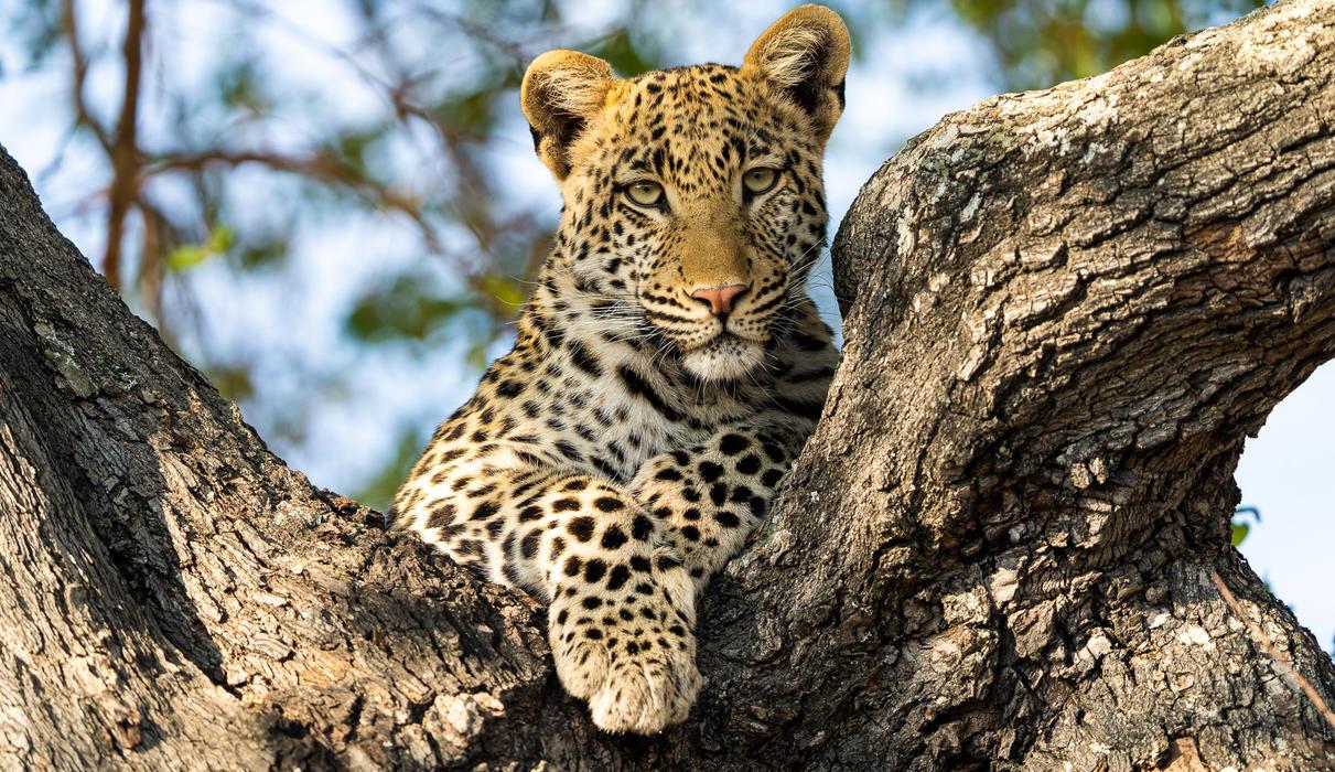 Seba is famous for its leopard sightings