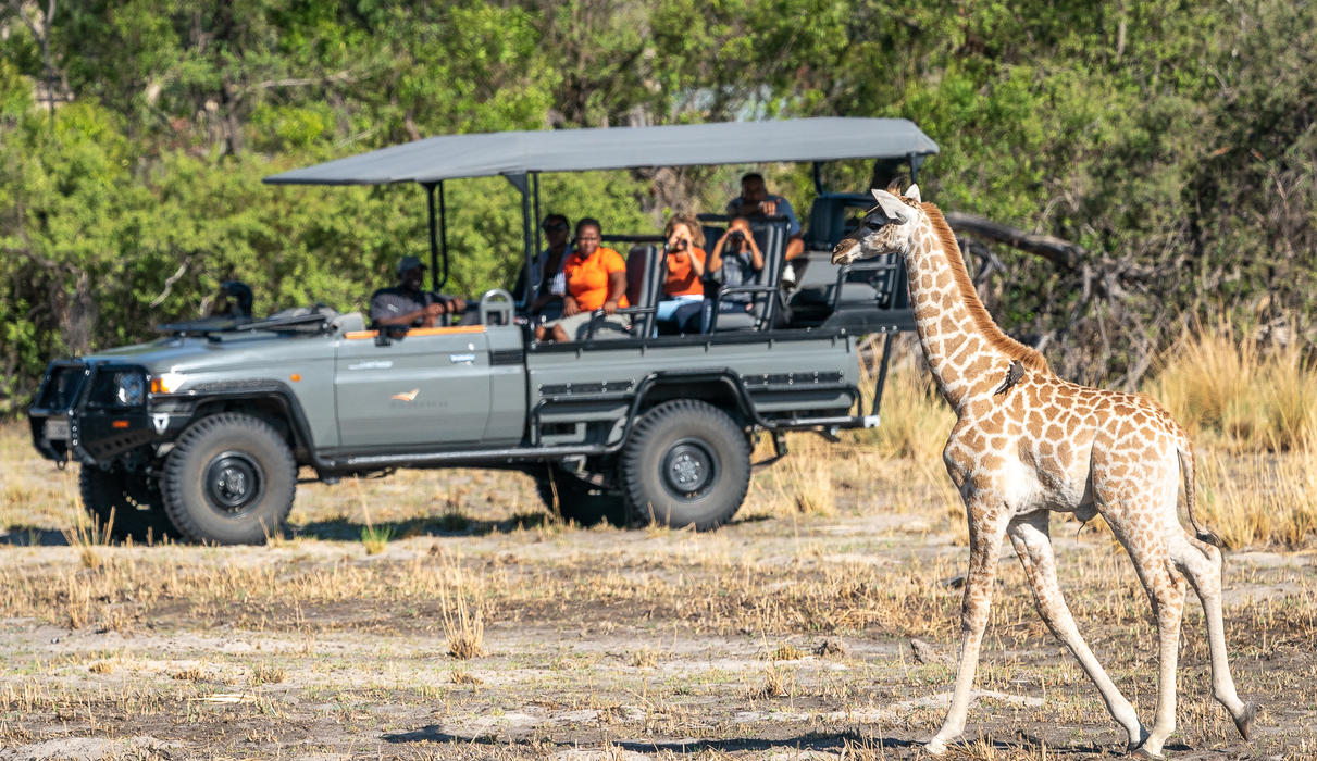 Young giraffe with oxpecker in tow