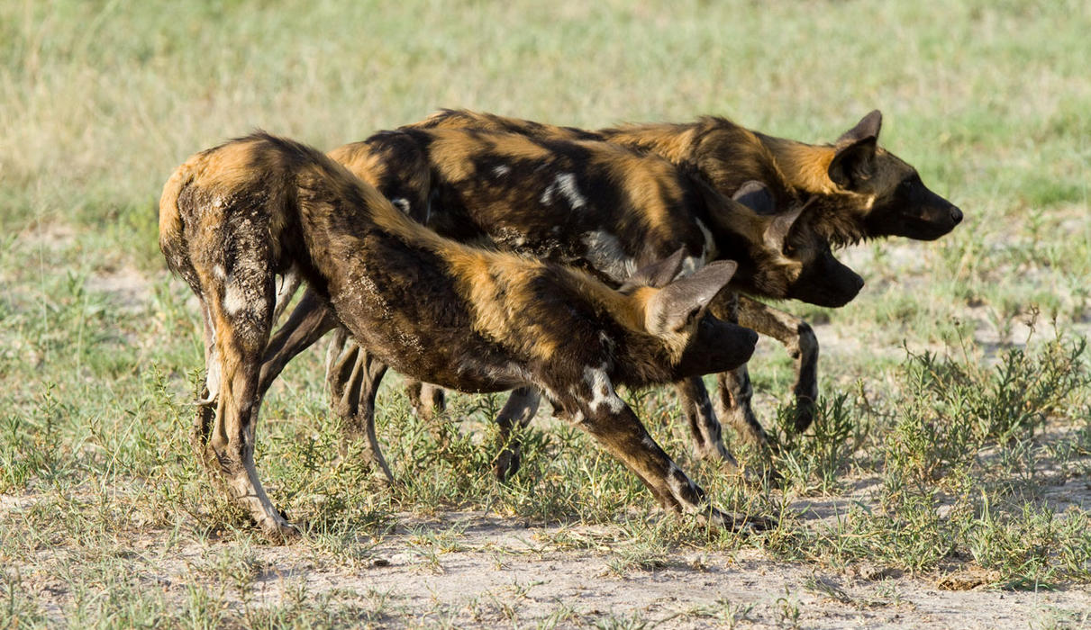 Wild dog are a feature of Chitabe wildlife