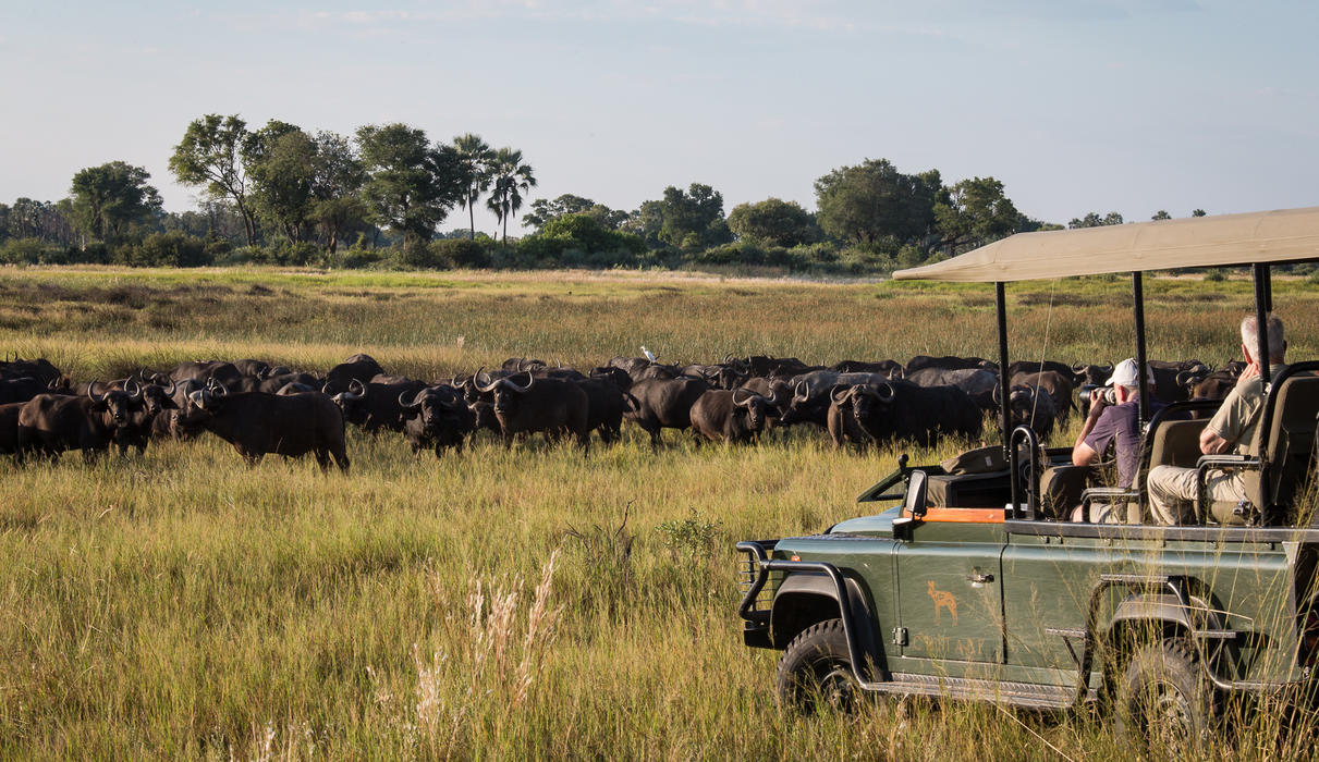 Buffalo herd seen close to Chitabe
