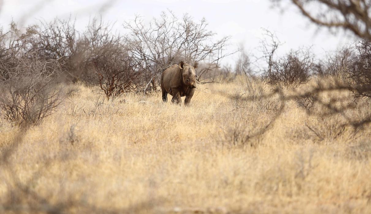 Black Rhino