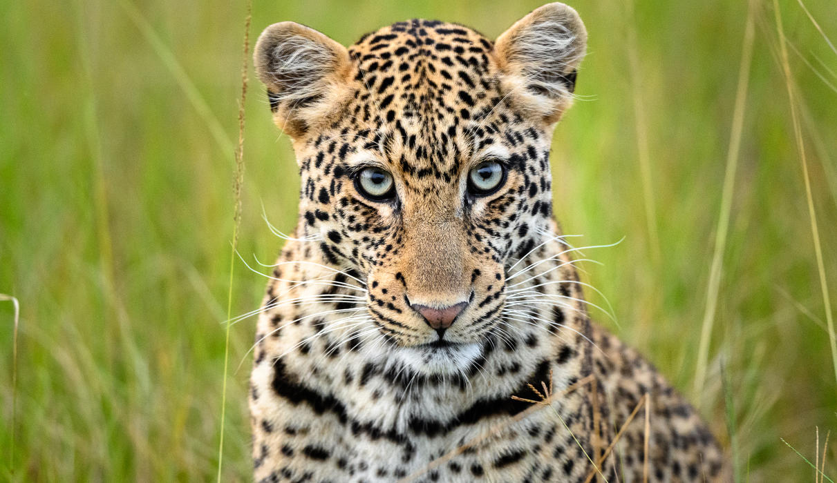 The Magashi Concession is a haven for leopard