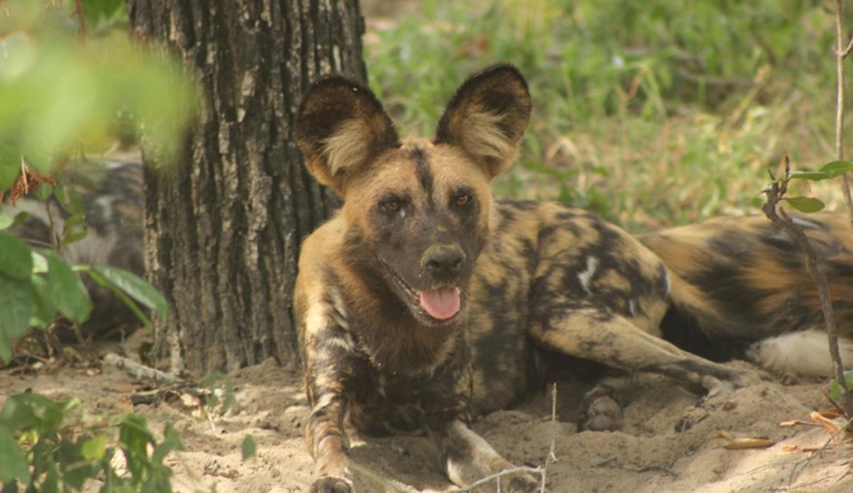 Selous Game Reserve has the largest population of wild dog