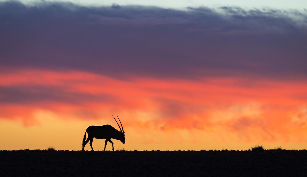 Two Kulala icons - gemsbok against a Sossusvlei sunset