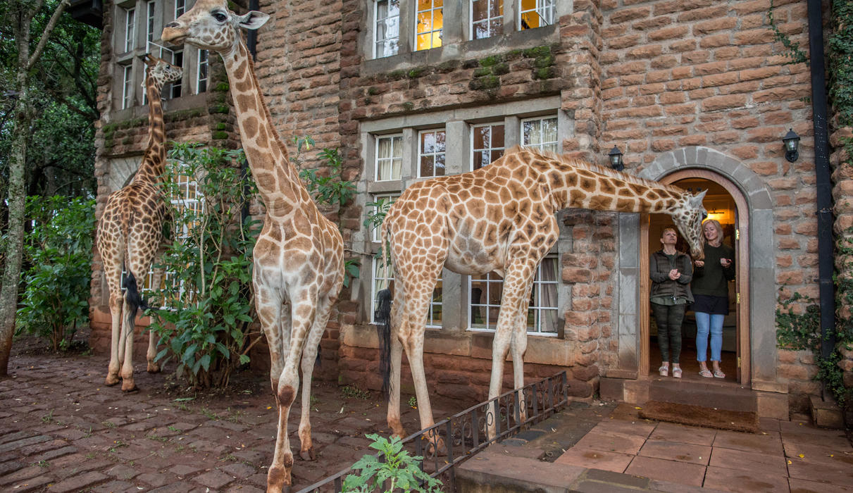Giraffes during breakfast outside the garden manor