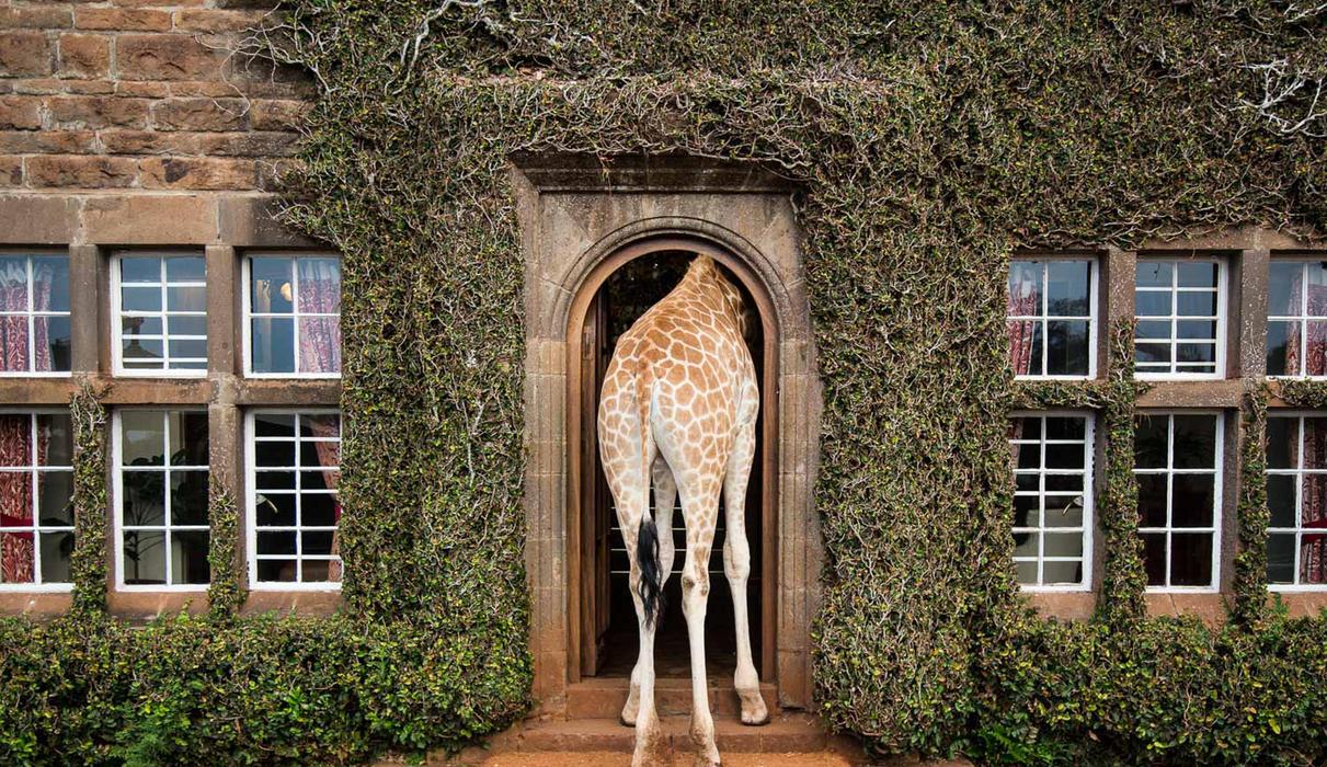 Epic giraffe moments
