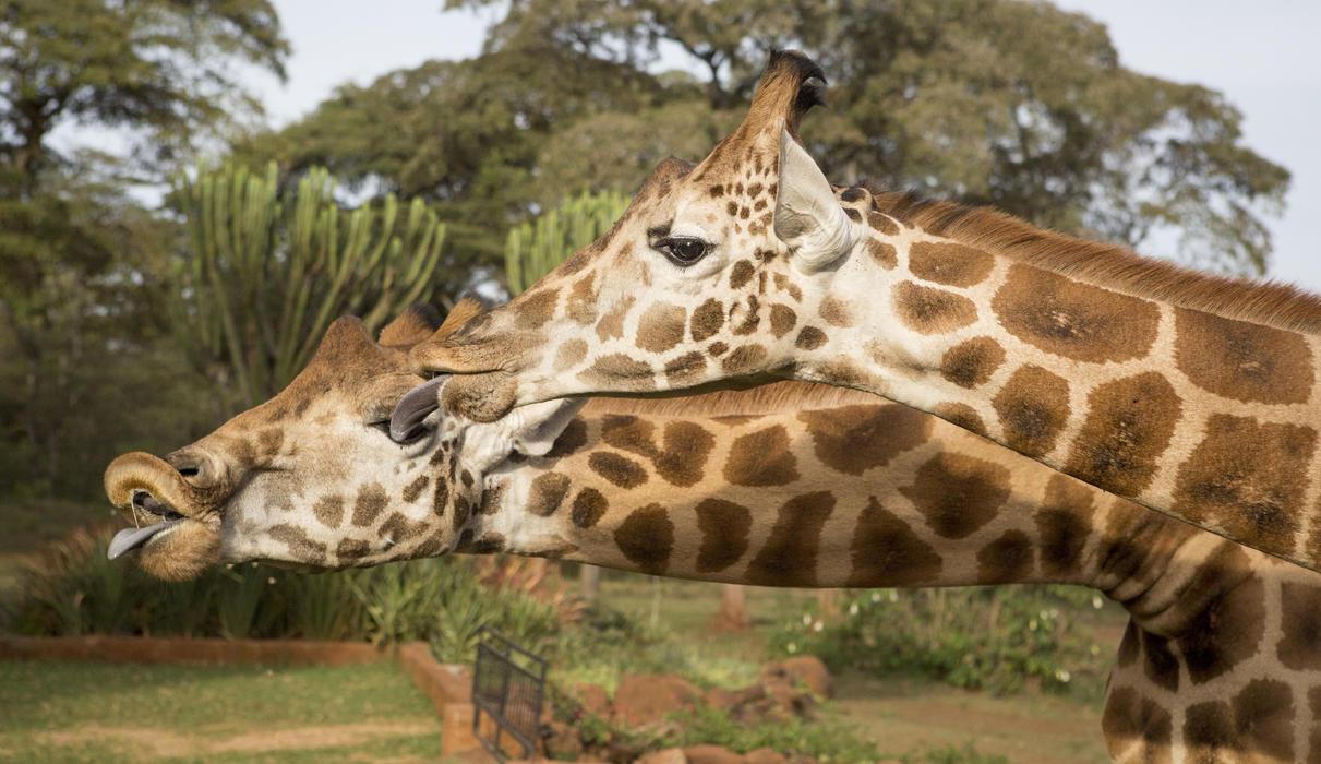 Giraffes eager for a kiss