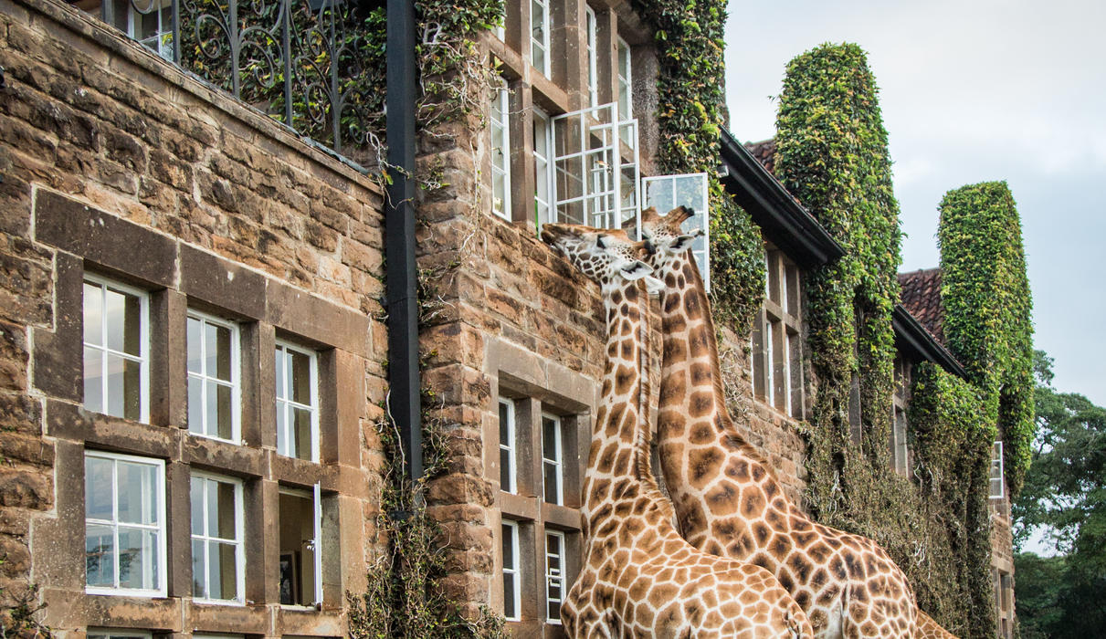 Giraffes getting treats from Betty's room