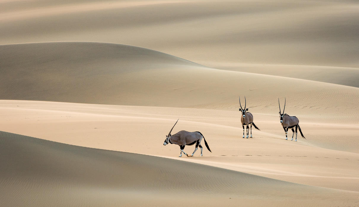 Gemsbok crossing the Cafema dunes