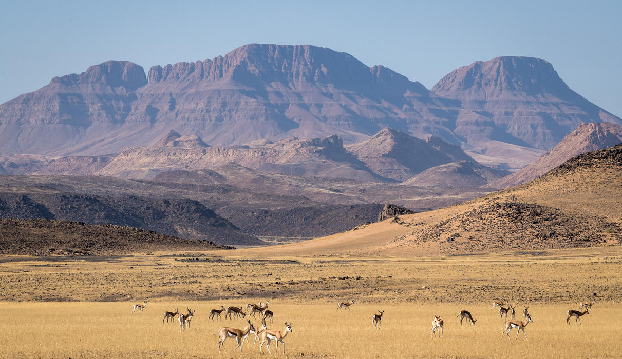 The mountains of north-western Namibia form a dramatic backdrop to this herd of springbok