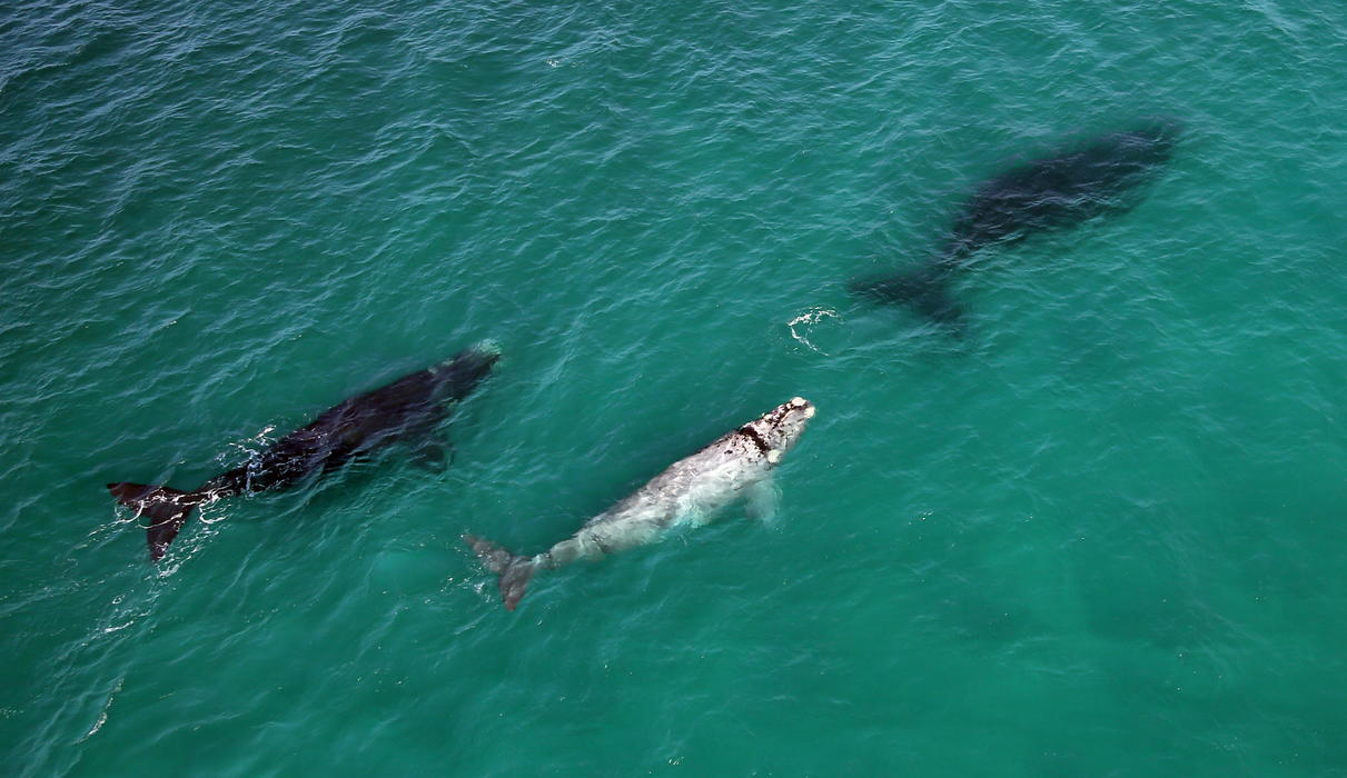Aerial view of the whales during whale season