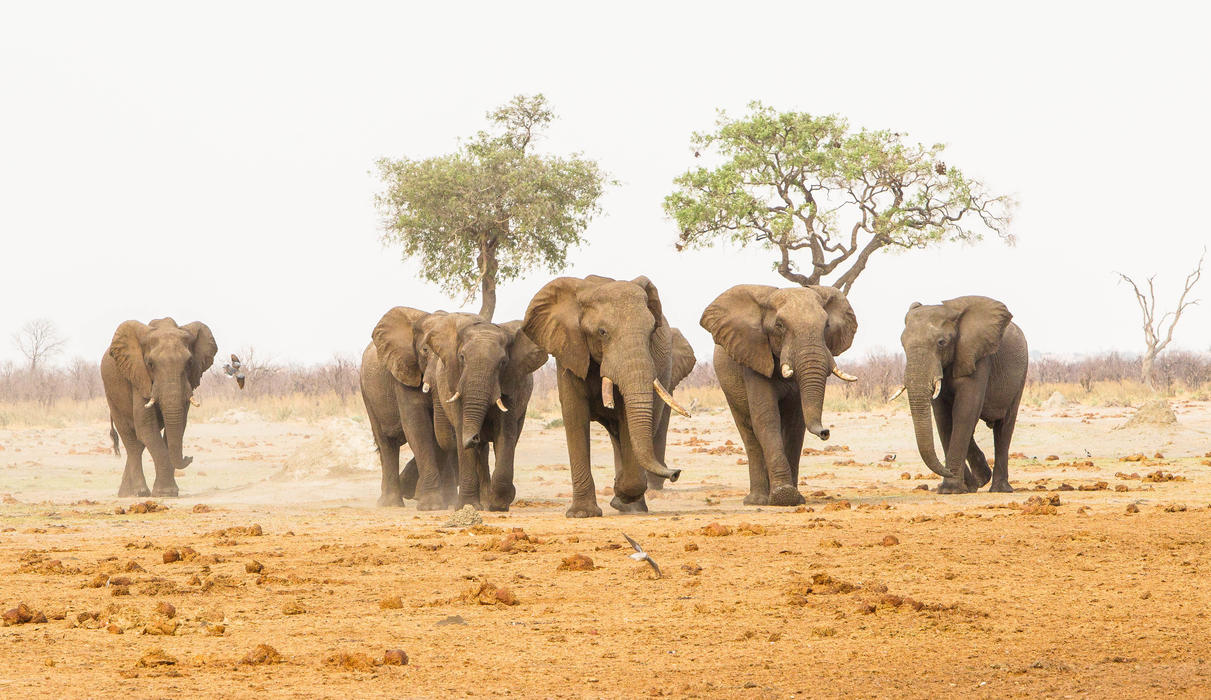 Exciting game viewing opportunities in the Savute Region of the Chobe National Park.  game