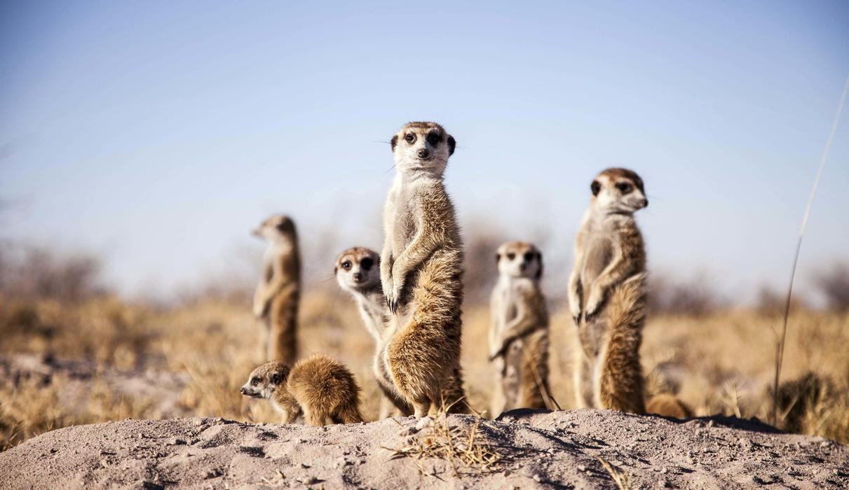 Get up close & personal with our resident meerkats