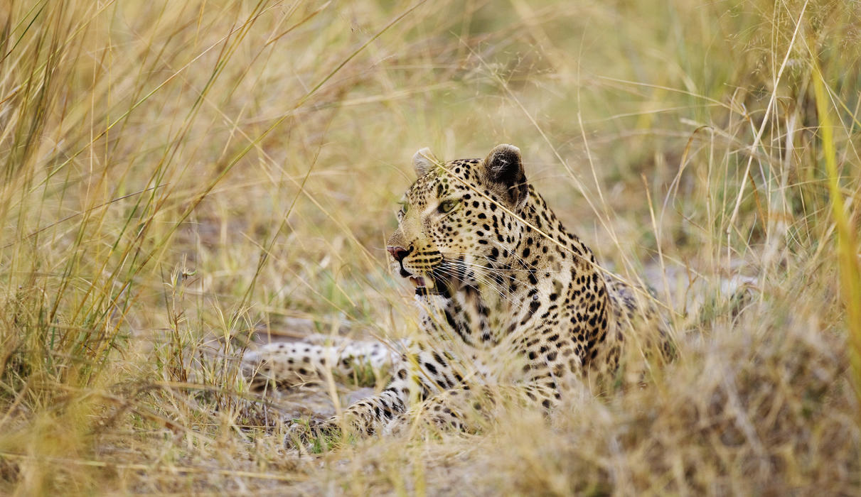One of the Shinde Leopard family members - meet the others on your visit