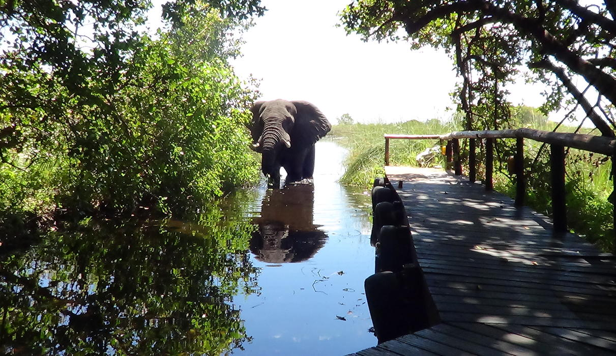 One won't need to leave the camp to experience the spectacular wildlife of the Okavango Delta.