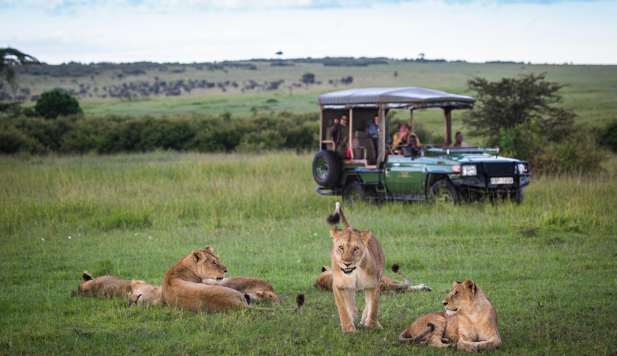 Lions near Mara Plains