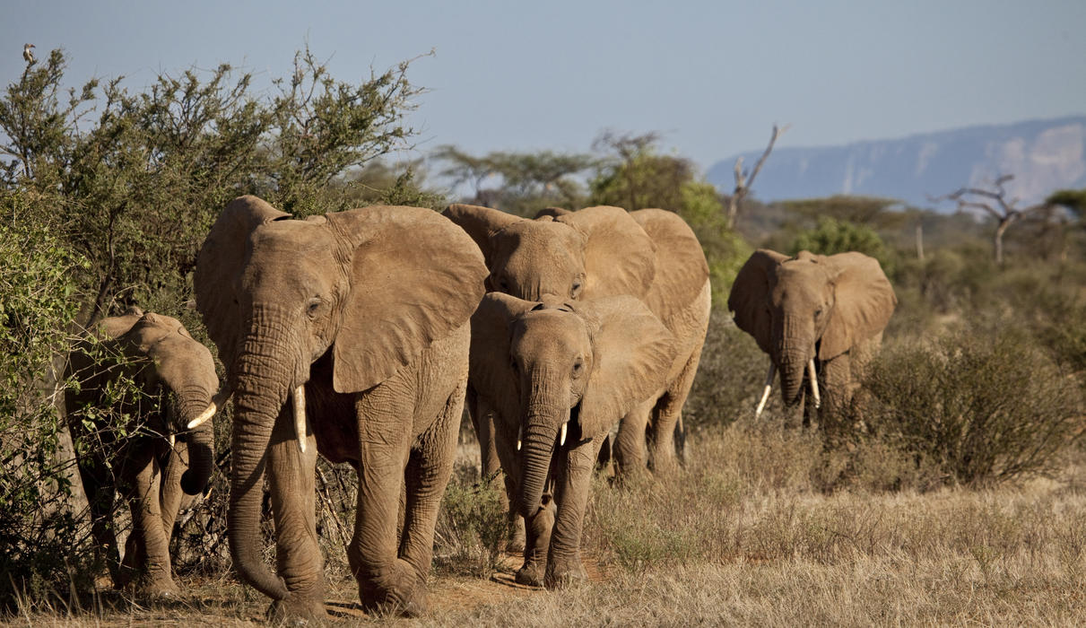 A herd of Elephants in the Samburu Reserve