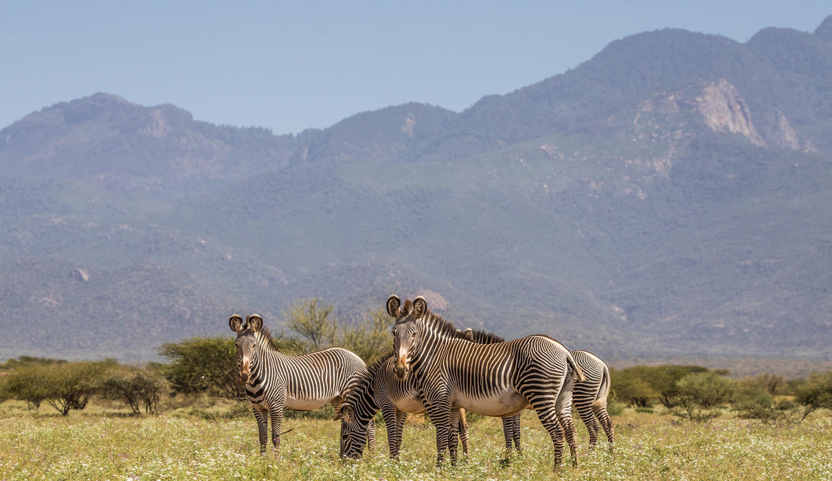 Grevy's Zebra in the reserve