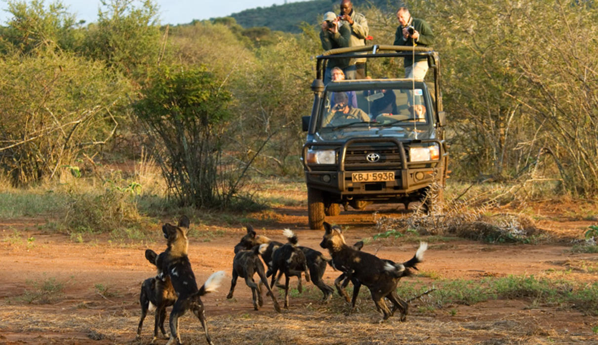 Sosian has become one of the best places to see the rare Wild Dog in Kenya