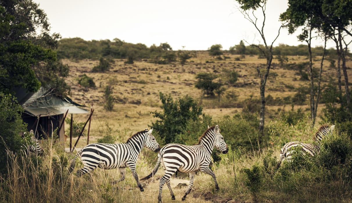Zebra outside Tent 3