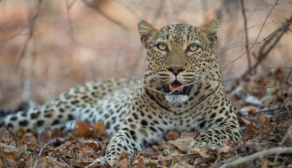 The South Luangwa is known as the Valley of the Leopard