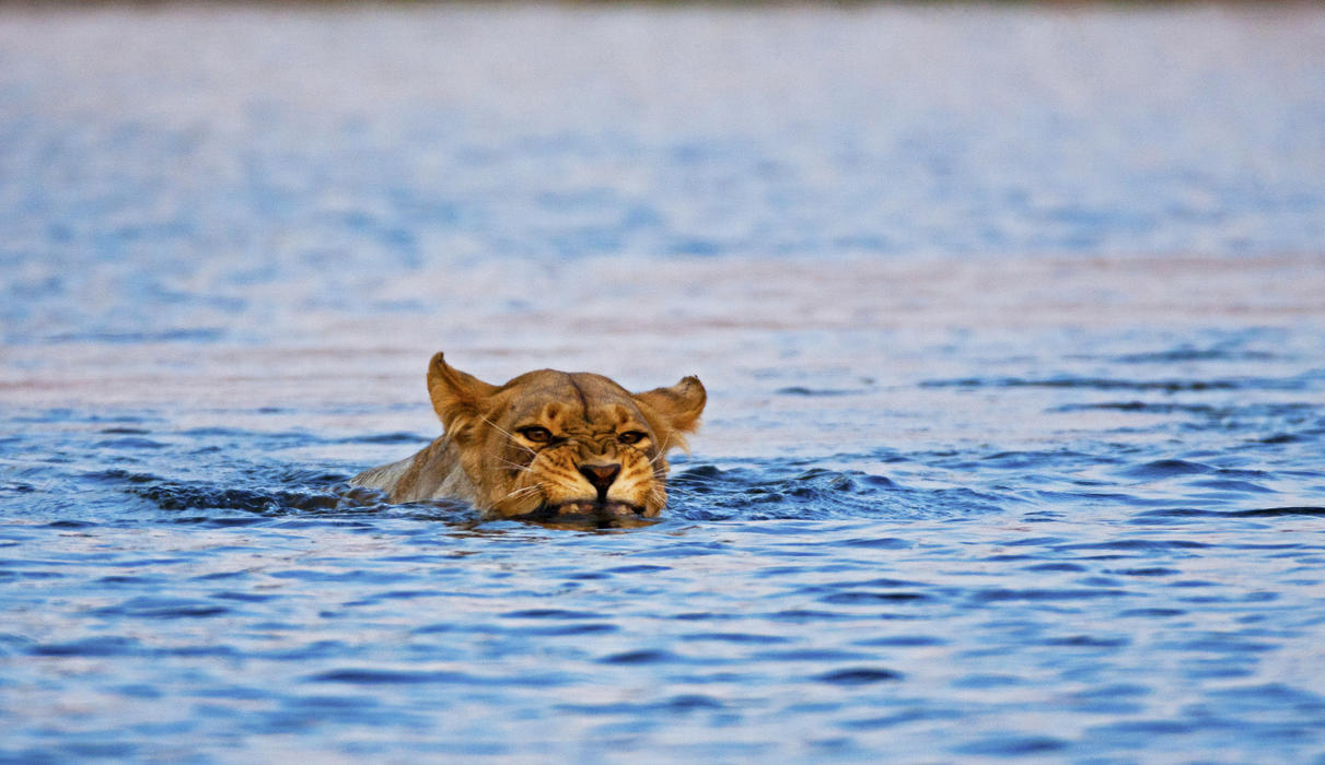 Lion Crossing the Selinda Spillway