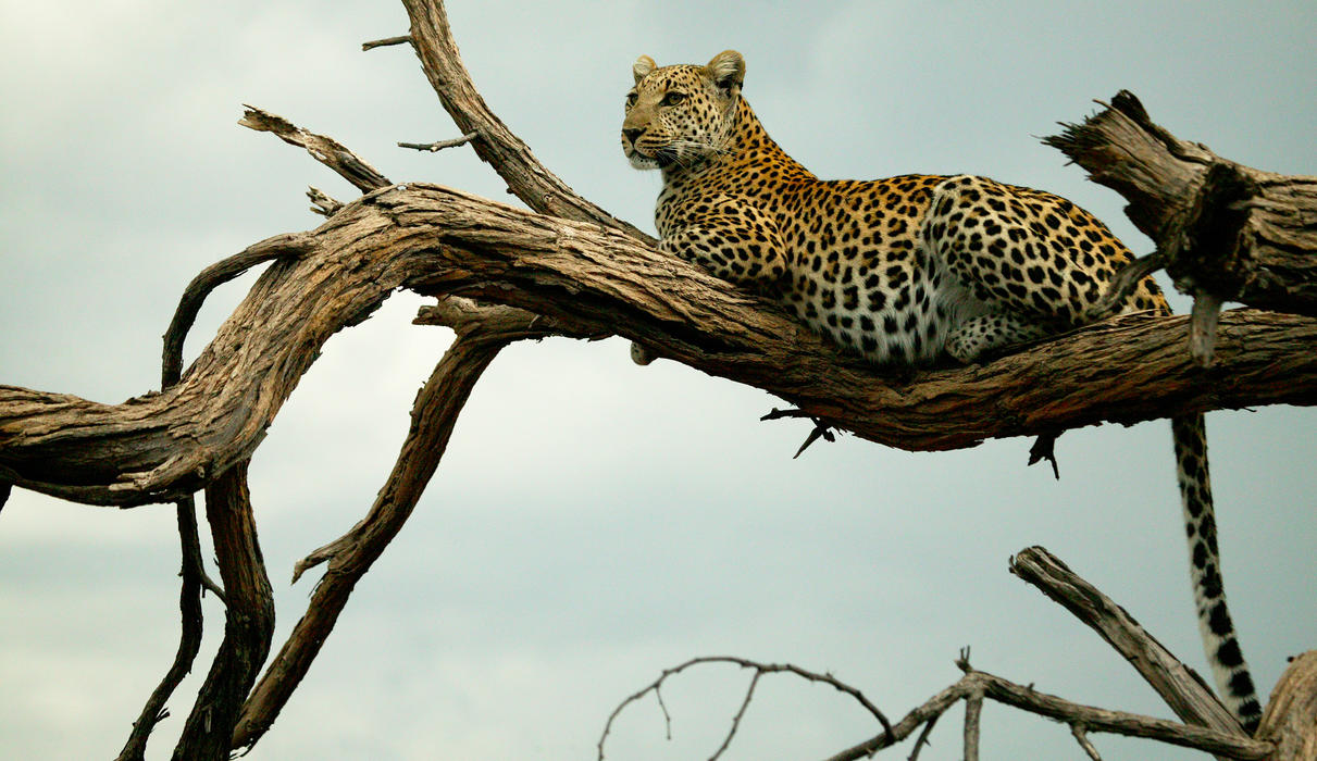 Leopard in the the Selinda Reserve