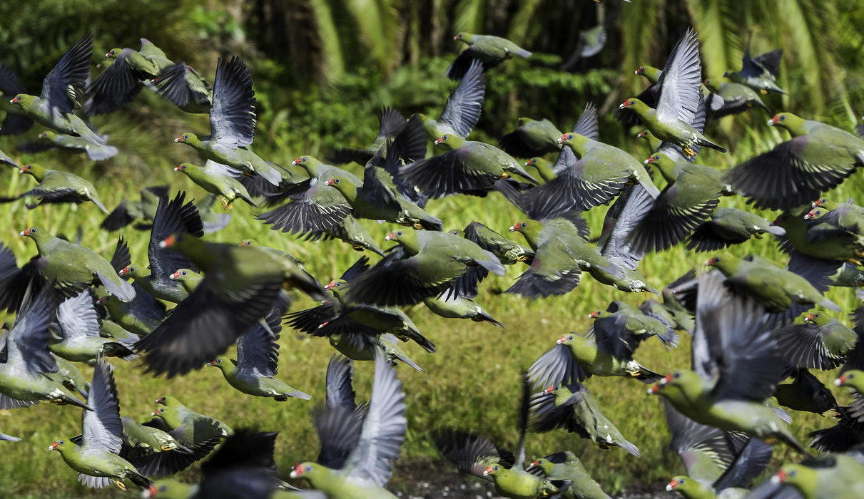 African green pigeons in flocks of hundreds