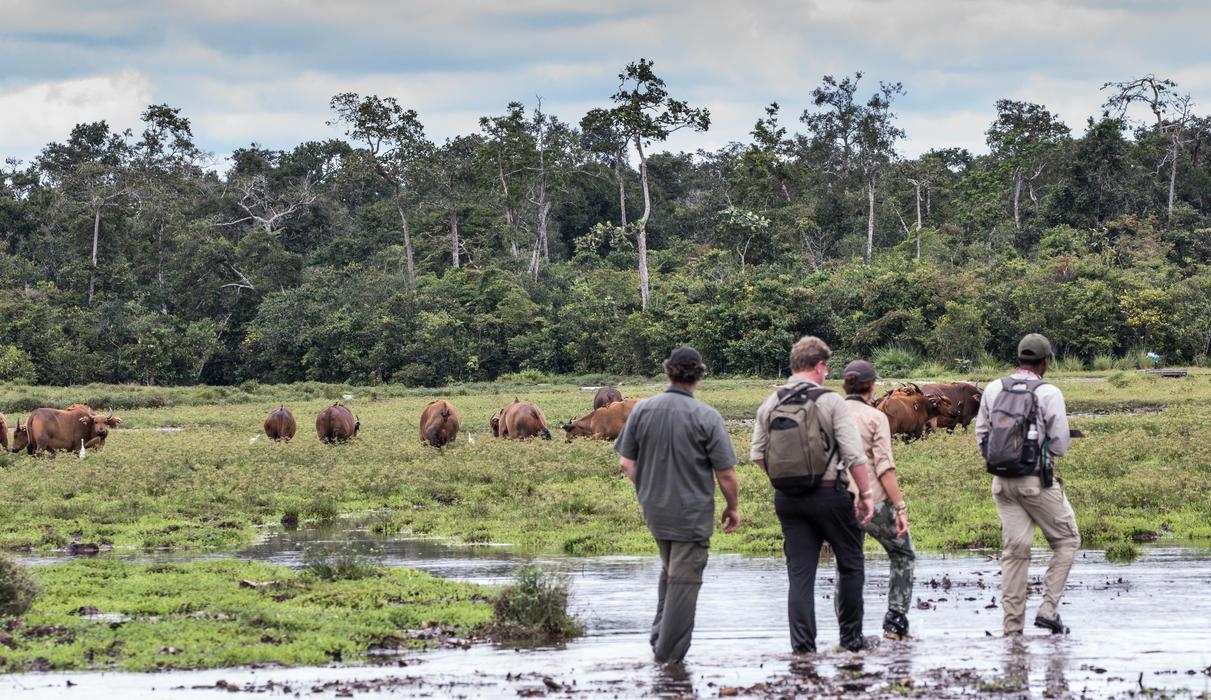Forest Buffalo's in the Baí
