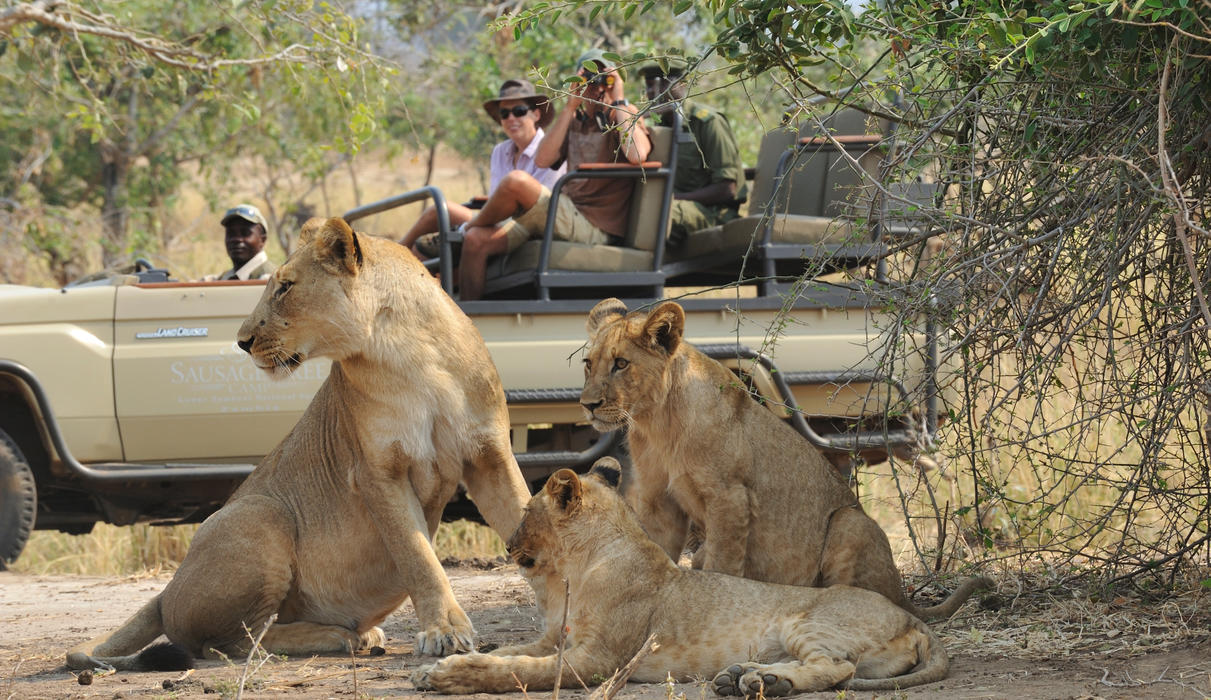 Game drive vehicle comes across our resident pride of lion