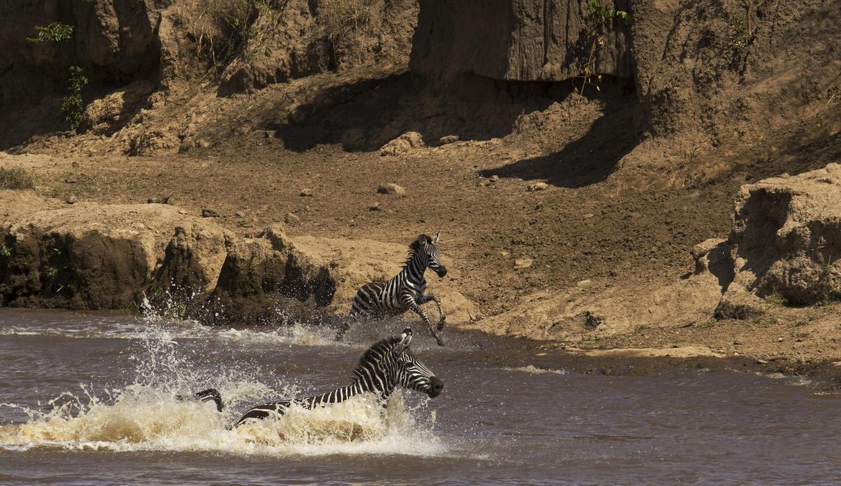 Zebra Crossing the Mara