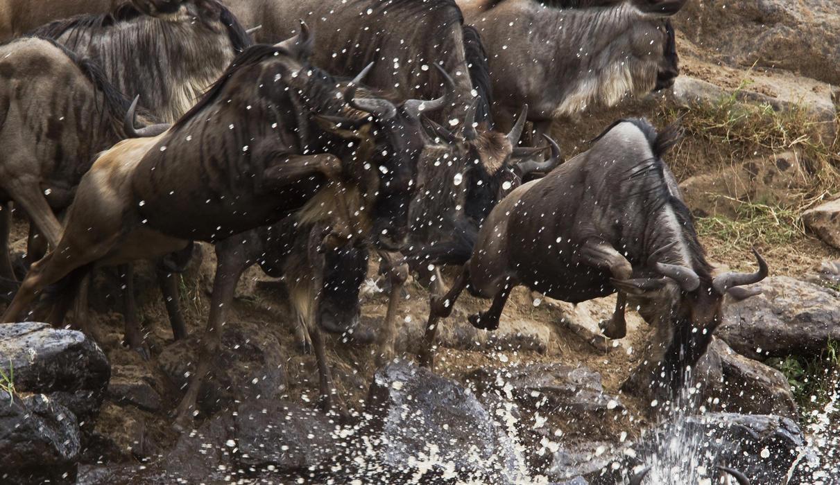Wildebeest Migration Crossing the Mara River