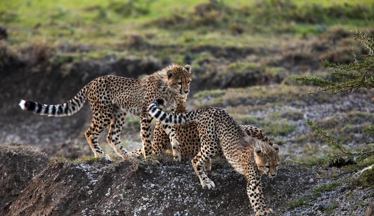 Adolescent Cheetahs