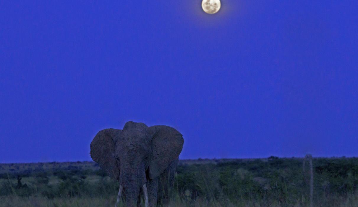 Lone Elephant Near Mara Expedition