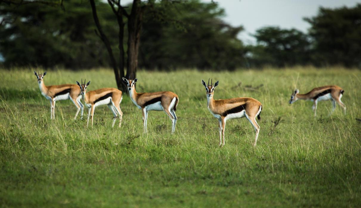 Gazelle in the Maasai Mara