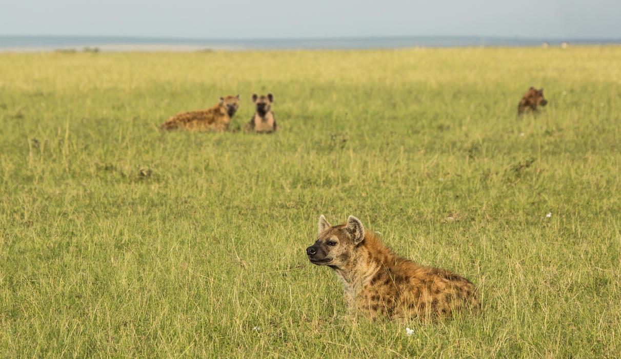 Hyena Near Mara Expedition Camp