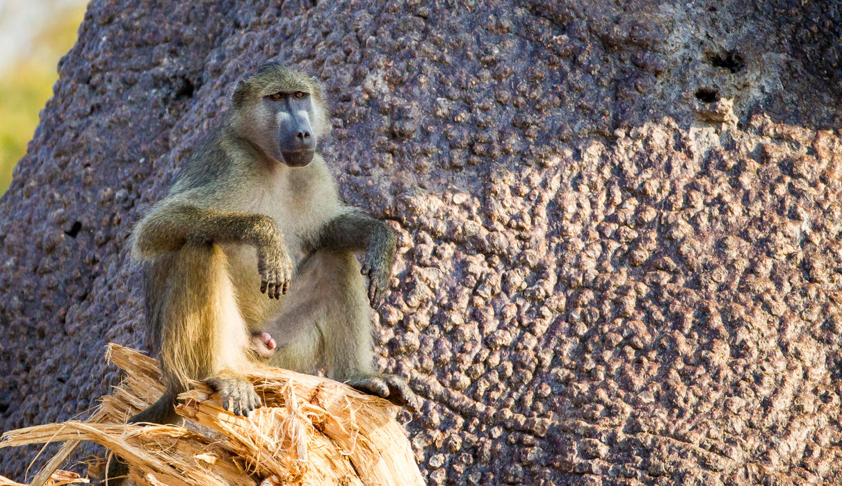 Watching baboons is endlessly entertaining
