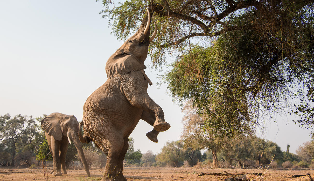 Elephants in the area seek out the nutritious albida pods