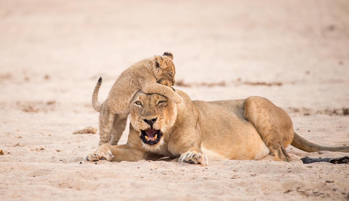Playful Chikwenya cub with mom