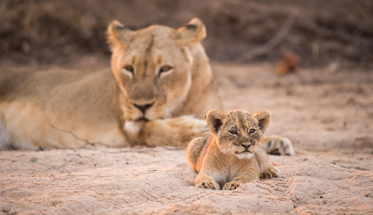 The Chikwenya Pride's single young cub is the star of the show