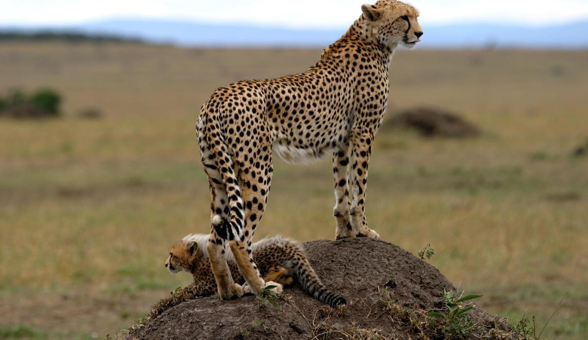 Cheetah & Cub
