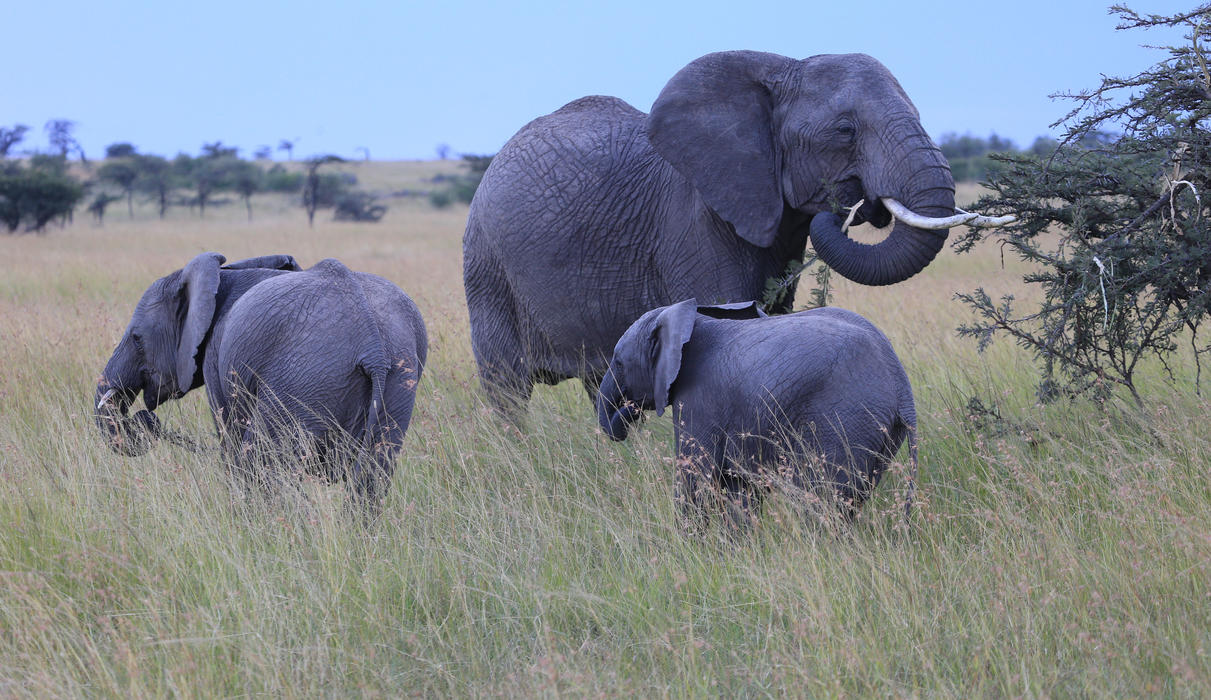 Elephants Mara