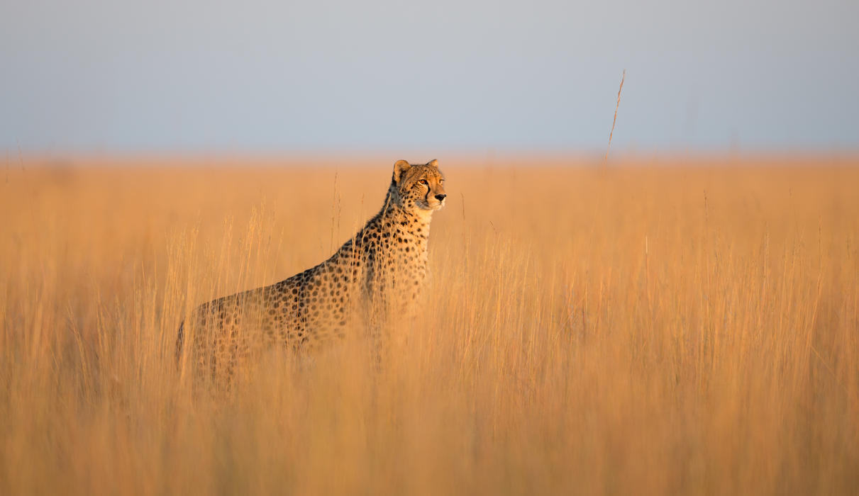 The Liuwa Plain offers great opportunities to see predator action.