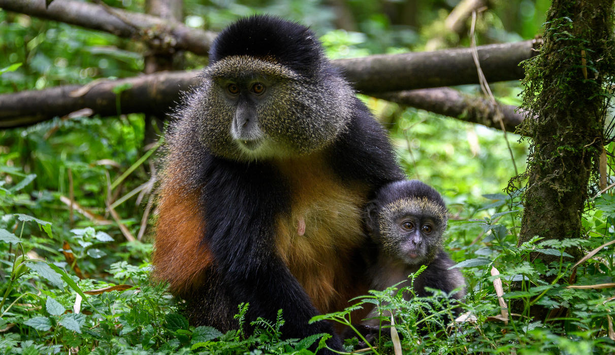 Golden monkeys live in social groups of up to 30 individuals