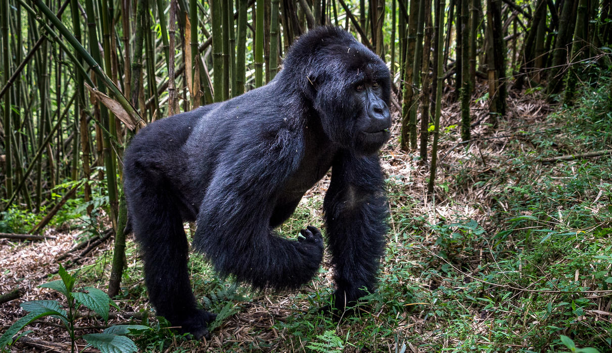 The dominant silverback determines the movements of his group