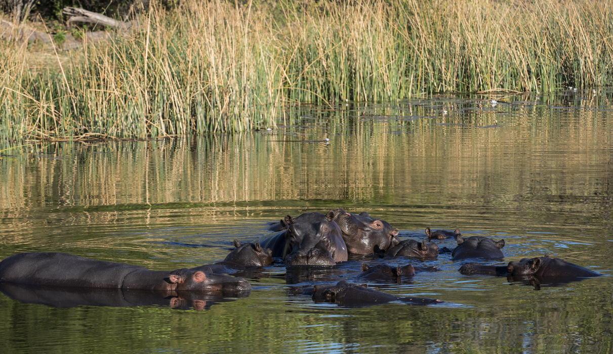 A pod of hippo
