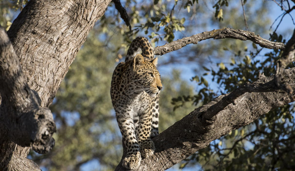 A leopard with a vantage point