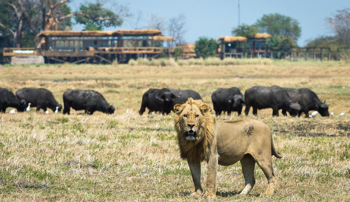 Lion with buffalo herd close to Shumba Camp